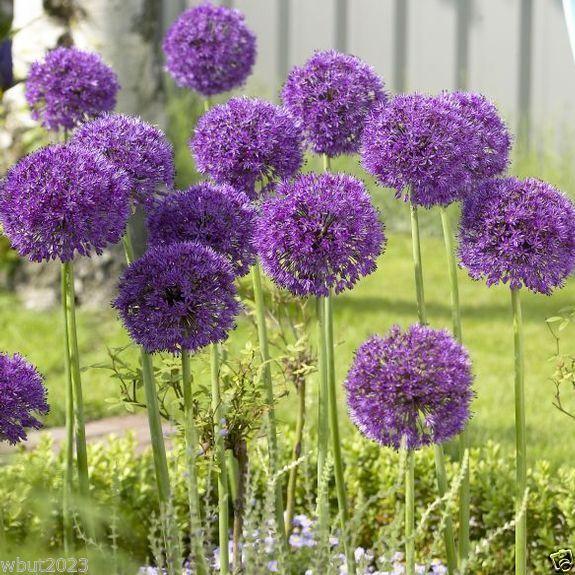 """20 Allium Bulbs - """"Purple Sensation"""" Perennials Bulbs , Now Shipping"""