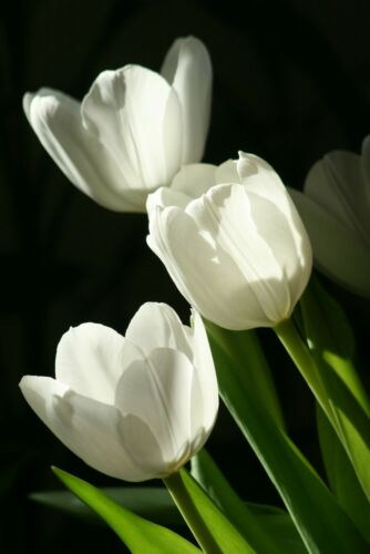 Prechilled Tulip Bulbs Perennial White Flowers Balcony Potted Resistant Fragrant
