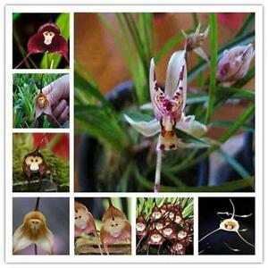 Beautiful-Monkey-Face-Flower-10pcs-Seeds-Pack-Rare-Orchid-Seeds