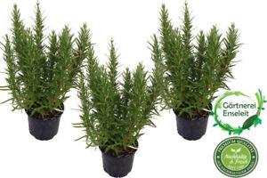 3 Rosmarin Pflanzen Im 12 Cm Topf Rosmarinus Officinalis Rosmarin