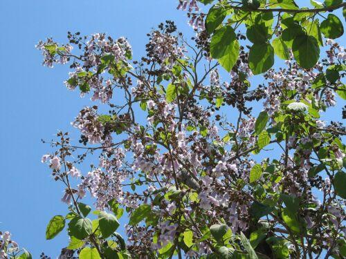 Blauglockenbaum Paulownia tomentosa Pflanze 35-40cm Kaiserbaum Kaiser-Paulownie