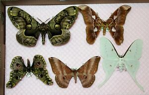 Saturniidae-silkmoth-Augenspinner-Los-lot-5-Stueck-specimens-world