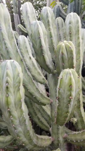 "Two Fresh 10.5/"" Tip Myrtillocactus Geometrizans Cactus Cuttings"