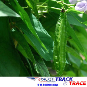 25 SEEDS Winged bean Packet  5 Gram THAI FOOD Backyard Garden Herb