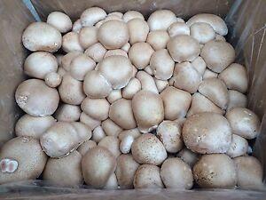 Brauner Champignon Einfach Selber Pilze Zuchten Mit Unserer Bio