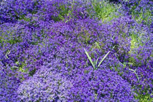 Aubrieta Blaukissen Blau120 Samen 3 Pakete kaufen, 4 erhalten