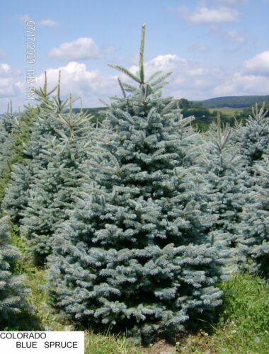 2 x Colorado Blu abete rosso Picea pungens SHARK contenitore piante coltivate in vaso