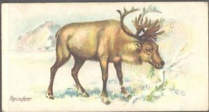 Players-Wild-Animals-of-the-World-039-issued-by-039-no-039-branch-039-Reindeer