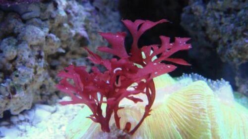 Live Frag Red Gracilaria Hayi Red Bush Macro Algae Plant Reef Refugium Saltwater