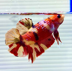 "US SELLER (A-Grade) Male Candy Nemo 2.5"" Giant Betta imported from Thailand"