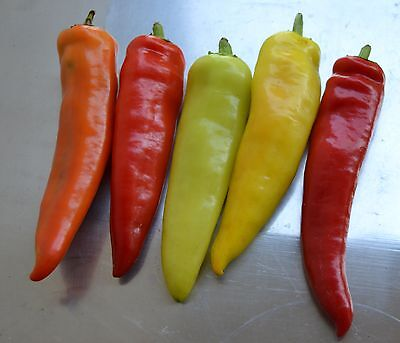 *Lila Luzi* Chili Samen regenbogenfarbene Früchte