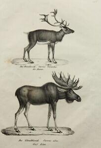 J-Brodtmann-1787-1862-Zoolog-Darstellung-Rennhirsch-und-Elch-Lithographie
