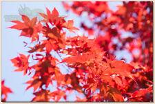 Acer Ginnala Bonsai Árbol Semillas * Flame Amur Maple * las semillas frescas