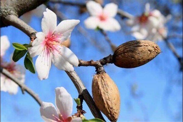 Greek Cretan NON GMO fresh Almond seeds