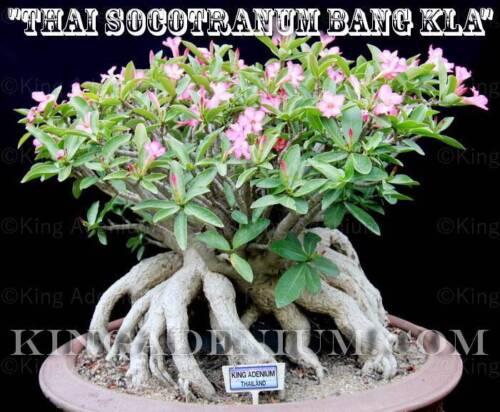 """Adenium Thai Socotranum /""""Bang KLA/"""" 10 Sementes Novo E Raro Ótimo Para Bonsai"""