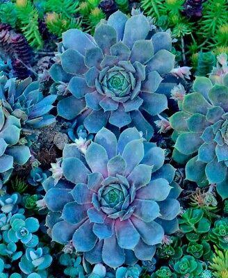 Zone 3 To 9 Pacific Blue Ice Sempervivum Hen Chick Plant succulent