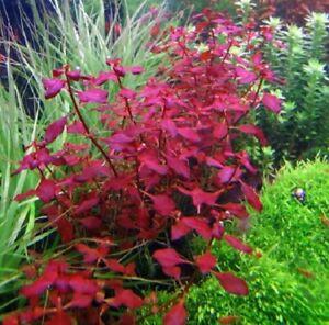 rare-ludwigia-repens-rubin-SUPER-RED-plante-facile-tres-rouge-aquarium