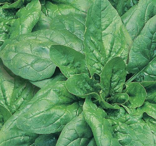 Spinat Monnopa 11527 Sämereien Gemüse Samen
