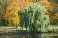 Weeping Willow Salix babylonica Tree Shipped dormant