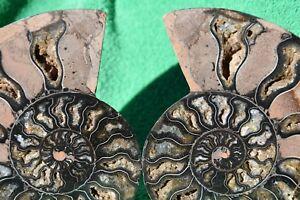 Paar-Ammonite-Gross-Kristall-Karies-XXL-6-2-034-Dinosaurier-Fossil-156mm-a3612