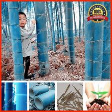 200+ Rare Blue Bamboo Seeds, Decorative Garden, Plant Seeds