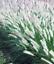 Seeds Green Pennisetum Alopecuroides Garden Grass Lawn Home Decor 100 Pcs