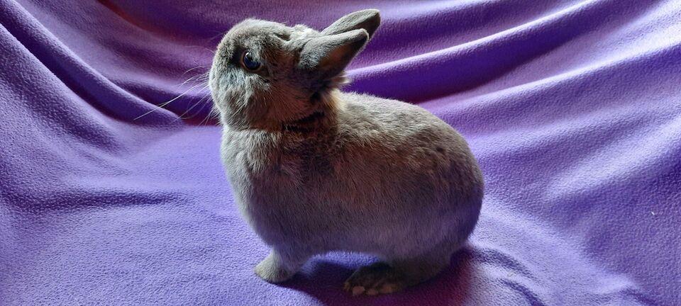 Kanin, Hermelin, 2 år