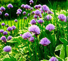 CHIVE Allium Purple Flower Vegetable Herb 30 Seeds