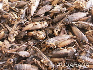 250ml Grillen Grashüpfer Heuschrecken Futterinsekten Reptilien Vogelfutter