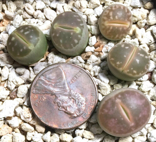 Mesemb Plant--Lithops olivacea nebrownii C162B--Pinkish--ONE Plant from Pot!