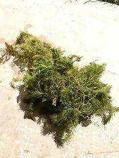 Live Aquarium Plants: 2 Bunch of Hornwort