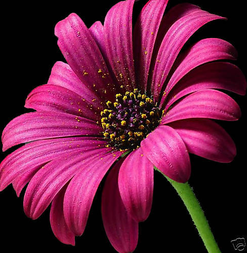 LARGE FLORAL CANVAS ART PINK DAISY ON BLACK 20 x 20