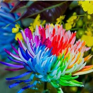 100-Stk-Regenbogen-Chrysantheme-Blumensamen-seltene-Farbe-Blume-Pflanze