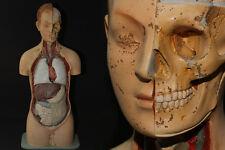 Altes Anatomie Lehrmodell für innere Organe herausnehmbar Medizin Torso