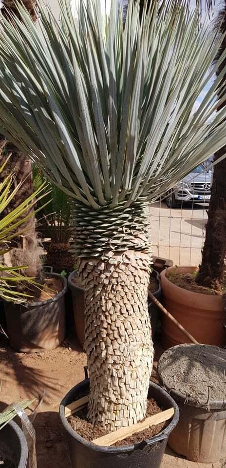 Palme Yucca Rostrata Höhe 220 cm Winterhart bis -19 Grad Premium Qualität