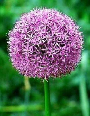 25 Gigante Allium Globemaster Semi Di Fiori + Regalo & Pettine S/h