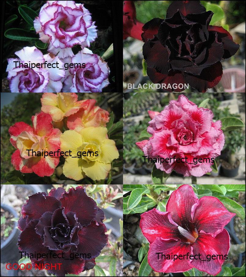 nuevo  Adenium  mixta  6 6 tipos de plantas injertadas frescas  Raro