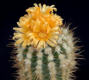 10-Parodie-Ayopayana-L961SEMI-Kakteen-Kaktus-Samen-semi-korn-Pflanzen-Fettig