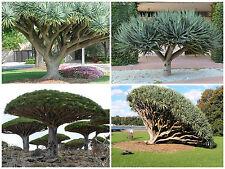 10 semi di Dacaena draco, piante succulente, piante grasse,seed succulents