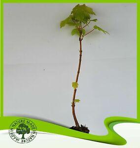 Acer-pseudoplatanus-Sycamore-maple-Plant