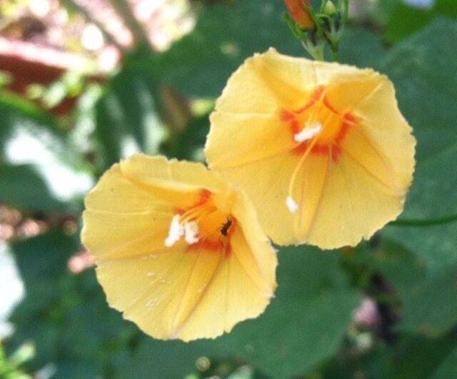 Ipomoea hederifolia morning glory yellow orange trumpet pumpkin 8 ipomoea hederifolia morning glory yellow orange trumpet pumpkin 8 seeds mightylinksfo