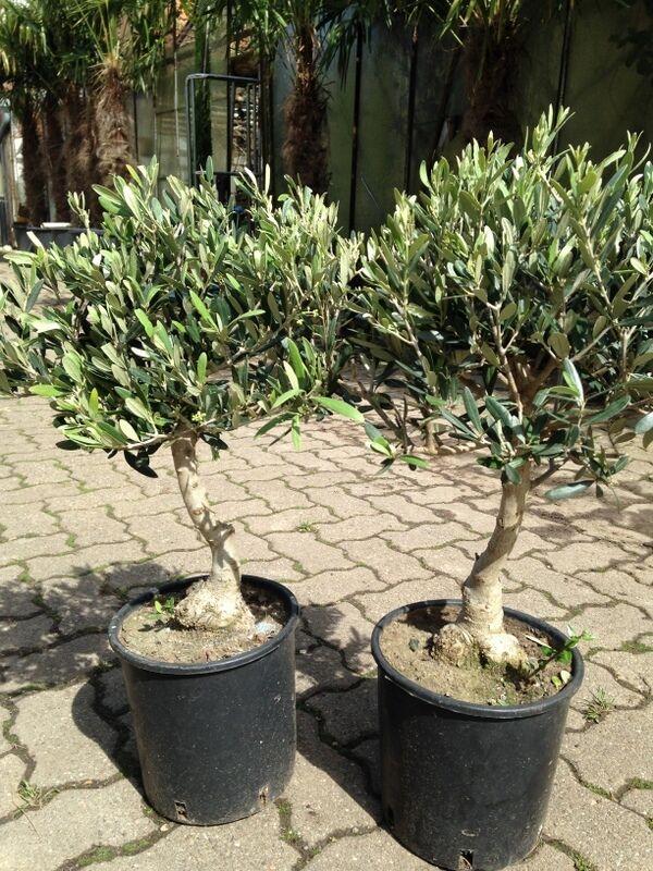 olivenbaum bonsai form olea europeae frosthart 15 c. Black Bedroom Furniture Sets. Home Design Ideas