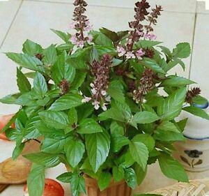 200-CINNAMON-BASIL-HERB-Seeds-Non-GMO-Open-Pollinated-Organic
