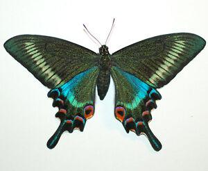 Papilio-maackii-satakei-ex-pupa-Hokkaido-Japan-FEMALE-1