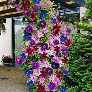 50-Samen-Packet-Mischfarbe-Von-Clematis-Blumen-Perfection-Gartenpflanzung