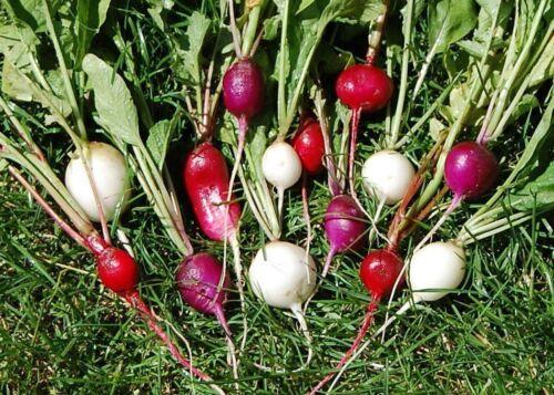 200 Samen Radieschen bunter Mix weiße gelbe lila rote Radieschen