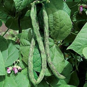 Rattlesnake snap pole Beans 10 seeds bulk fresh preacher Drought resistant Snap