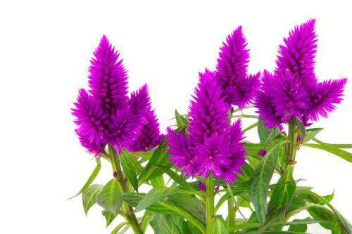 Exot Pflanzen Samen exotische Saatgut Zimmerpflanze Zimmerblume FEDERBUSCH