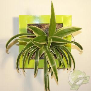 Détails sur Cadre végétal Be Green Vert Anis 19x19cm avec Chlorophytum  (tableau végétalisé)