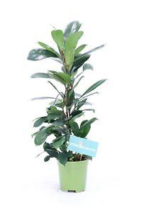 Piante Ornamentali Da Appartamento.Pianta Da Interno Di Ficus Cyathistipula V17 Ornamentale Pianta Da